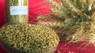 Buğdayda iki yeni yerli çeşit - İZMİR