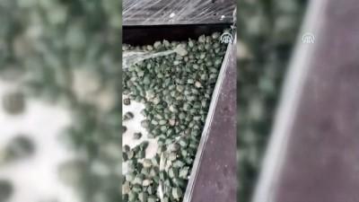istihbarat - Sınır kapısında 2 bin 500 su kaplumbağası yakalandı - ARTVİN