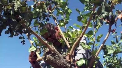 Terörden temizlenen bölgelerde fıstık ağaçları yeşerecek - ŞIRNAK