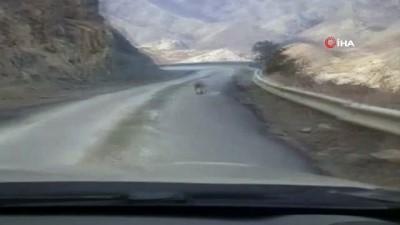 Nadir görülen hayvan türlerinden Vaşak'ın karayolundaki umursamaz hali şaşırttı