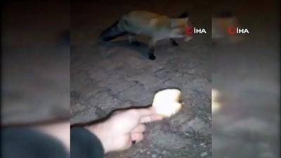 Aç kalan tilkiyi elleriyle böyle besledi
