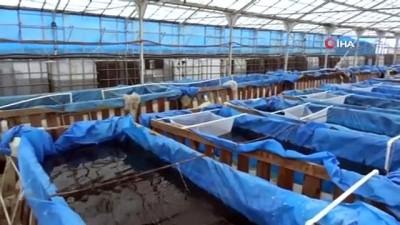Harabe sera akvaryum balığı üretim tesisi oldu