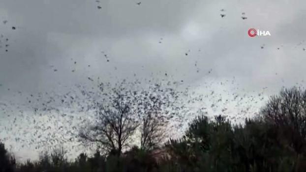 amator -  Binlerce sığırcık kuşu meyve bahçelerine dadandı Haberi