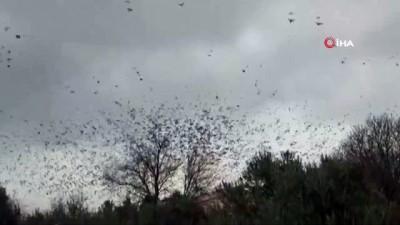amator -  Binlerce sığırcık kuşu meyve bahçelerine dadandı