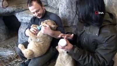 kopek -  Çocuklar, sömestr tatilinde aslan ve kaplan yavrularını sevme fırsatı bulacaklar