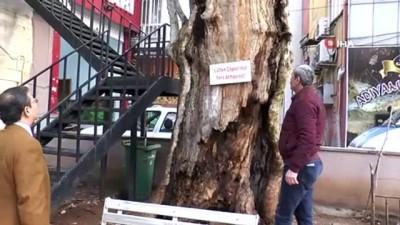 400 yıllık anıt ağacı kurtarma çalışması başlatıldı