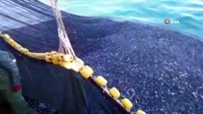Teknenin hamsiyle dolup taştığı anlar kamerada Haberi