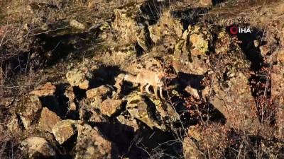 cakal -  Yiyecek bulamayan yaban hayvanları yerleşim alanlarına indi