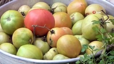 asad -  Evinin önüne ektiği domatesten ocak ayına kadar ürün topladı