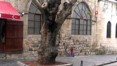 250 yıllık Tarihi Çınar Ağacı Akcurun Caddesine renk katıyor