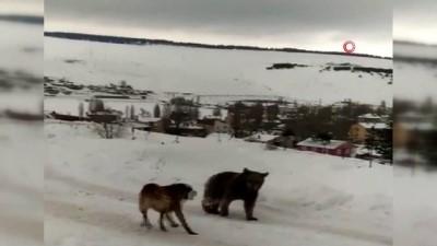 Aç kaldığı için ilçe merkezine inen boz ayının köpeklerle imtihanı