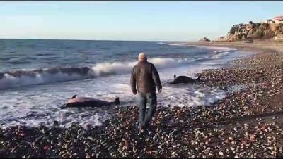 2 ölü yunus kıyıya vurdu - ZONGULDAK