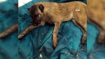 sahit -  Kahramanmaraş'ta köpekleri zehirlenen vatandaş isyan etti