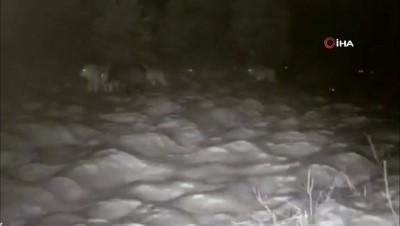 ormanli -  Erzurum'da aç kalan kurtlar köye indi