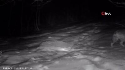 ormanli -  Karla kaplanan Kartepe'de yaban hayatı foto kapanlarla görüntülendi