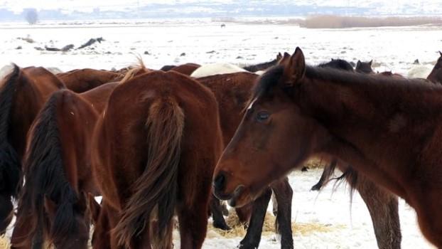 sayilar - Doğa fotoğrafçılarının tutkusu olan yılkı atlarını elleriyle besliyor - KAYSERİ