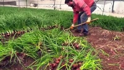 Söğüt'teki seralarda yeşilsoğan hasadı sürüyor - BİLECİK