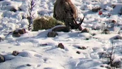 irak -  Aç kalan dağ keçileri yonca ile beslendi Haberi