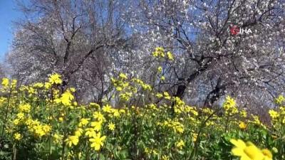 Çiçek açan badem ağaçları baharı müjdeledi Haberi
