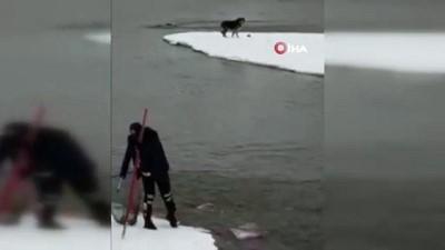 mahsur kaldi -  Murat Nehri'nde mahsur kalan kurt köpeği kurtarıldı