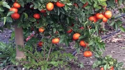 asad -  Almanya ve Hollanda'nın mandalinası Adana'dan