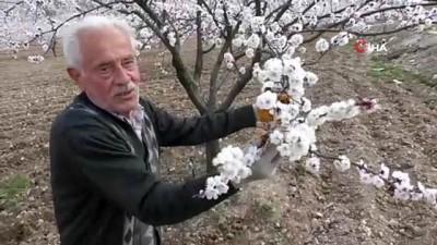 Çiçeklenen kayısı ağaçları ile Malatya beyaz gelinliğini giydi
