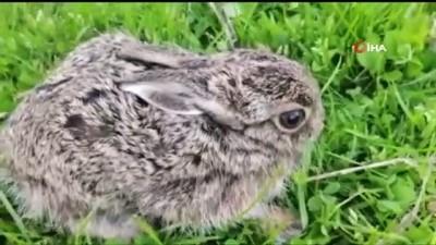 ormana -  Ormanda ölmek üzereyken bulduğu yavru tavşana gözü gibi bakıyor