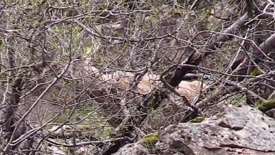 kacak avci - Koruma altındaki yaban keçileri Munzur Vadisi'nde yiyecek ararken görüntülendi - TUNCELİ