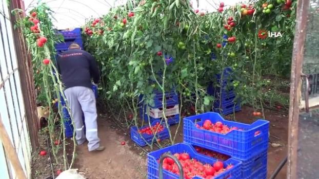 mehmet ozgur -  Seralarda sebze üretimi hız kesmeden devam ediyor