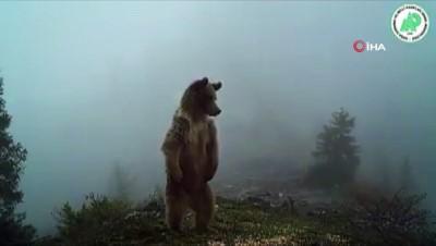Kış uykusundan uyanan ayılar foto kapanla görüntülendi