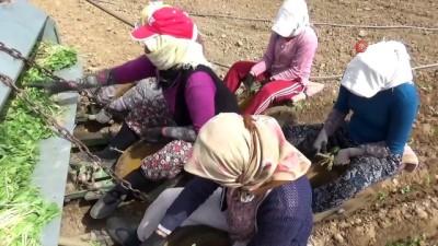 ocaklar -  Manisa'da tütün ekimi başladı