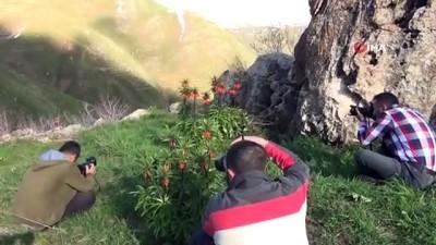 ilkbahar -  Baharın müjdecisi ters laleler Bitlis'te açmaya başladı