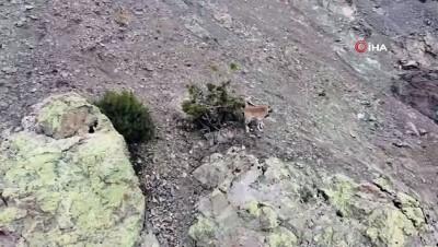 dag kecisi -  Erzincan'da dağ keçileri havadan görüntülendi