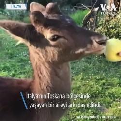 Yavru Geyik Corona Günlerinde İtalyan Aileye Arkadaş Oldu