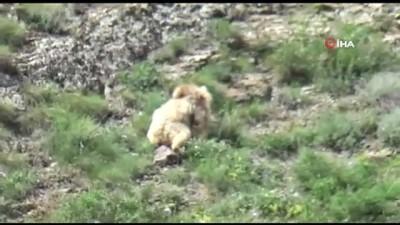 Su içmek için çoruh vadisine inen boz ayı böyle görüntülendi
