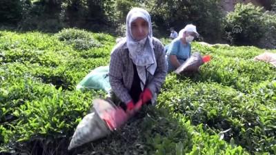 Hopa'da çay hasadı imece usulüyle yapılıyor - ARTVİN