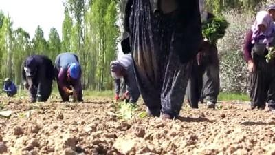 ilkbahar - İlkbahar aylarının yağışlı geçmesi lahana üreticisini sevindirdi - NİĞDE