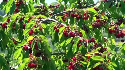 hava sicakliklari -  Amasya'da kiraz hasadı başladı
