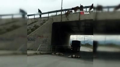 kamera -  Büyükbaş hayvanların köprüden düşerek telef olduğu anlar kamerada