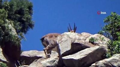 dag kecisi -  Erzurum'da dağ keçisi görüntülendi