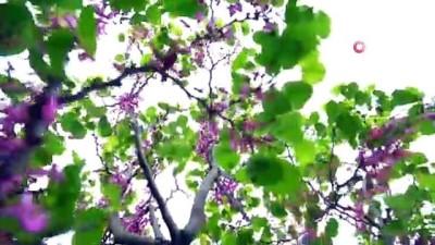 Bursa'da erguvan mevsimi başlıyor