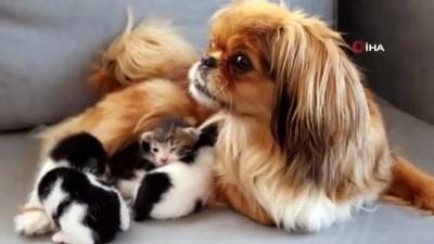 bebek -  Köpekten kedi yavrularına anne şefkati... Mira, anneleri köpeklerin saldırısıyla ölen kedi yavrularına annelik yapıyor