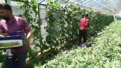 kirim -  Antalya seralarında karpuz hasatı başladı...2,5 ay erken hasat edilen karpuz kıymete bindi