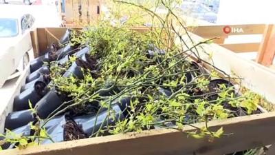 mersin -  Yaban mersinleri Bursa'da filizleniyor