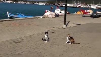 Ayvalık'ta meraklı kedilerin drone ilgisi