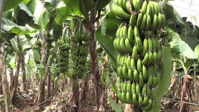Yerli muz üreticileri 2023'te ithalata son vermeyi hedefliyor - MERSİN
