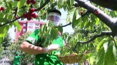saglik personeli -  Bağcılar'da sağlık çalışanları için kiraz hasadı