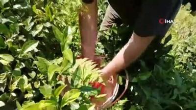 seyahat yasagi -  Çay üreticileri bu kez gübreleme için çay bahçesine girdi