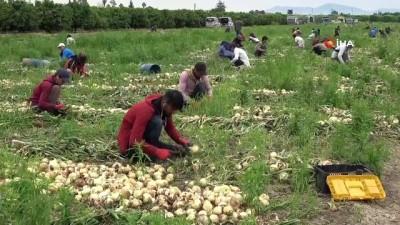 konferans -  Geçen yıl 6 liraya satılan soğan 50 kuruşa kadar düştü