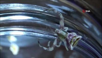 Balkonda bulduğu insan yüzlü örümceği  beslemeye başladı